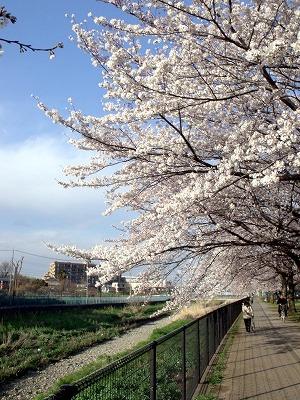 2012年4月6日達磨橋近辺の空堀川緑道の桜