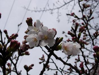 桜 09.03.28
