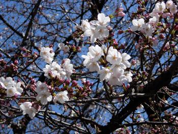 ぶどうみたいな桜