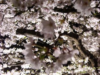 夜桜アップ2 09.04.07