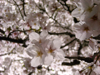 夜桜アップ 09.04.07