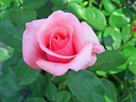 季節外れだけど薔薇
