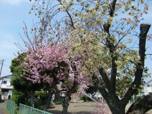 八重桜 001