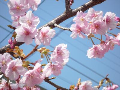 7.河津桜