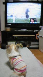テレビの中のわんこを見るくり DVC00109