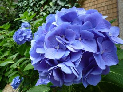 5.紫陽花