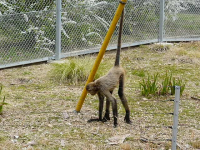 お猿さんでござる