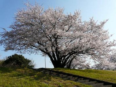 散歩道も桜の季節♪
