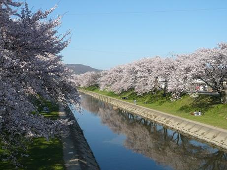 *水面に映る桜色*