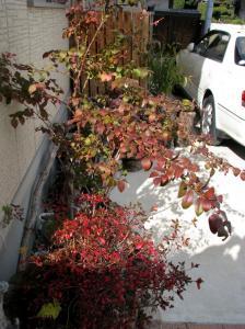 08.11.30  庭の紅葉 005