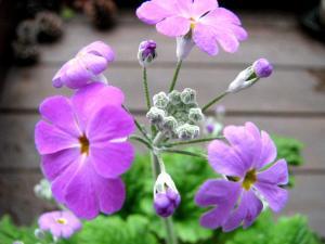 2009.1.9  庭の花  002