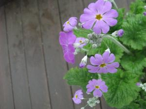 2009.1.9  庭の花  006