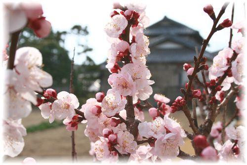2011年の杏の花①