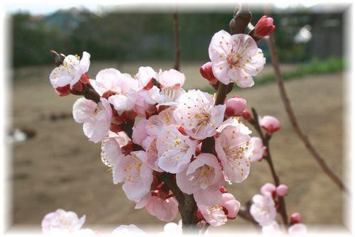 2011年の杏の花②