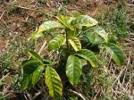 コーヒーの木。