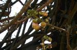 沙羅双樹。