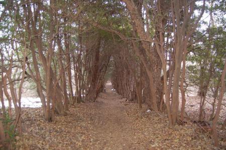 35ヒサカキのトンネル