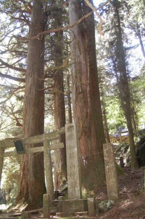 加蘇山神社入口の杉