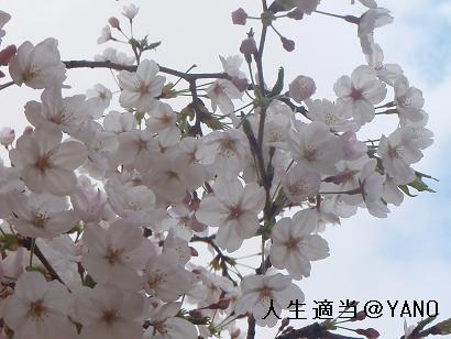 20090402桜