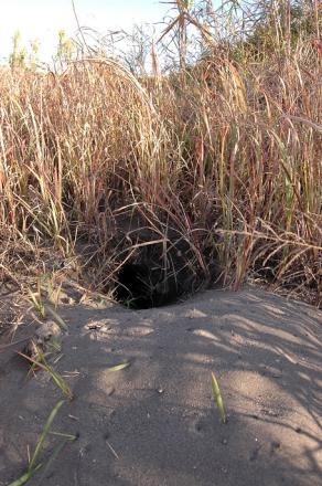 利根川新たなキツネの巣2