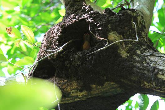 アカショウビンの巣作り no.1|西表島