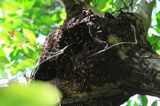 アカショウビンの巣作り no.2|西表島
