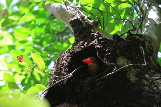アカショウビンの巣作り no.4|西表島