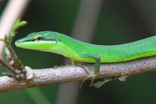 サキシマカナヘビ|西表島
