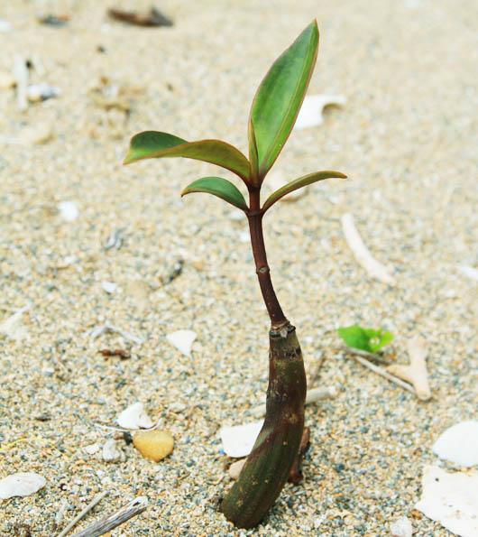 マングローブ(オヒルギ)の芽|西表島