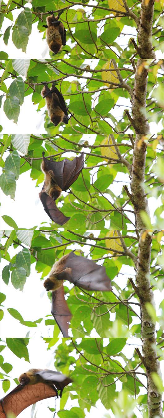 ヤエヤマオオコウモリ(フルーツバット)|西表島