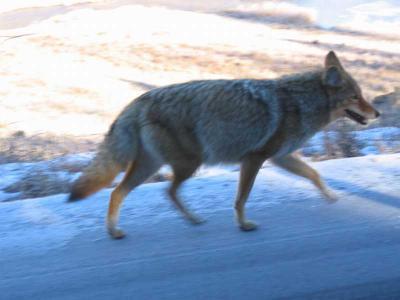 Coyote in YNP