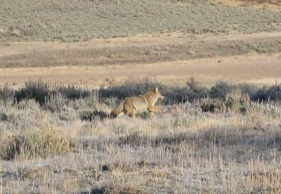 Coyote running in YNP