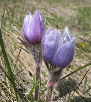 pasqueflower 1