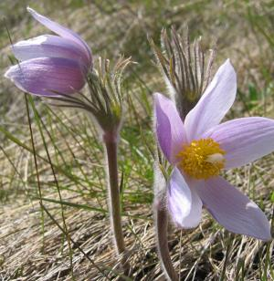 pasqueflower 2