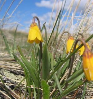 yellowbell 1