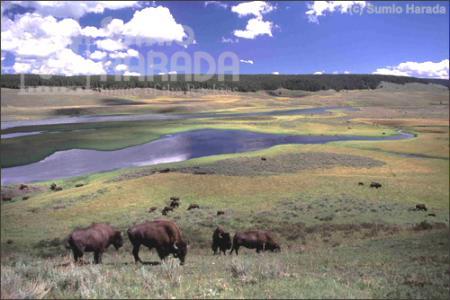bison, Sumio Harada 2