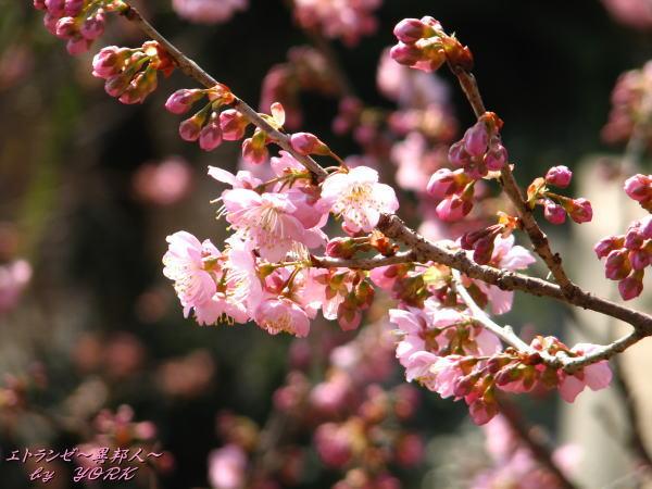 5990椿寒桜100228
