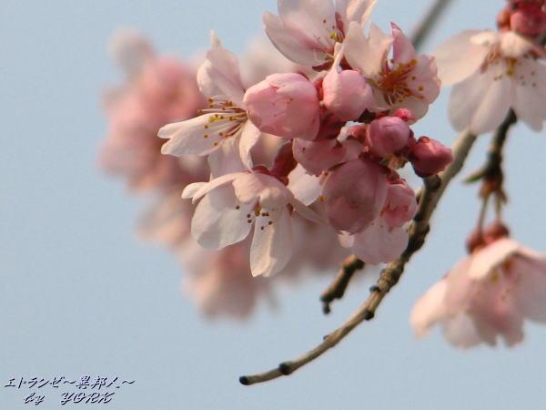 9858枝垂れ桜110402