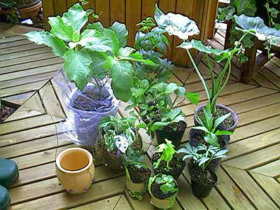 20000821nagoya_plants.jpg