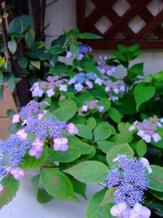 2007_0521yamaajisai.jpg