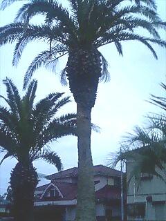 hasaki_tree.jpg