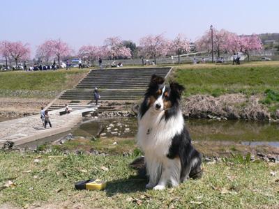 川辺の桜1