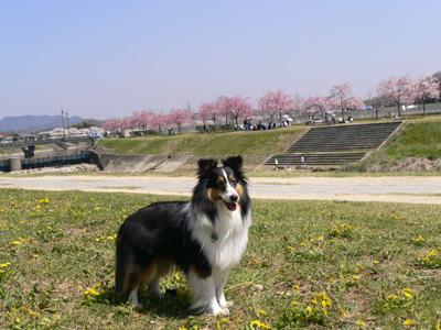 川辺の桜3