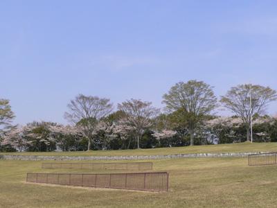 芝生広場の桜1
