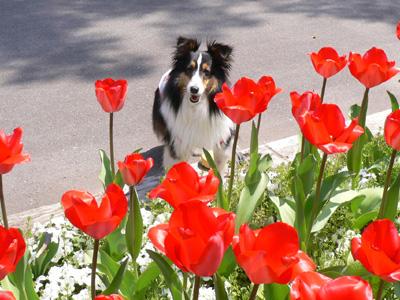 芝生広場の桜4
