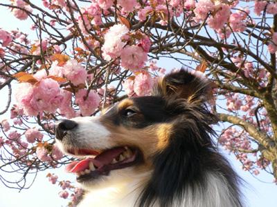 八重桜09-5