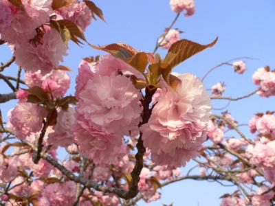 八重桜09-1