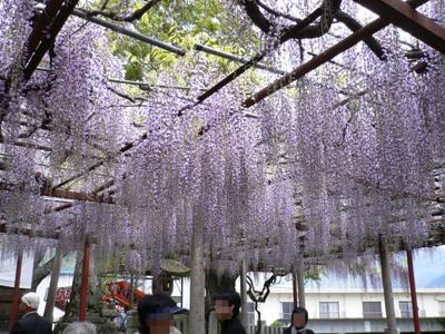 千年藤と芝桜1