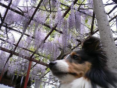 千年藤と芝桜4