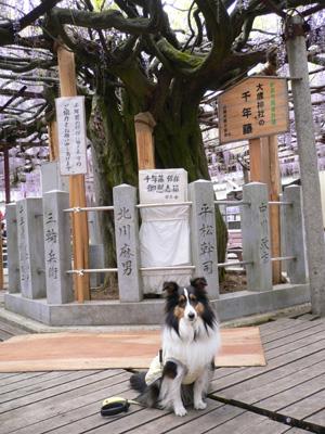 千年藤と芝桜2